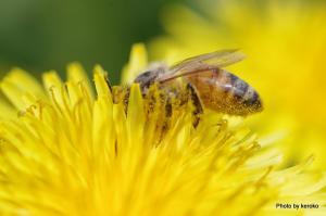 タンポポとミツバチ1