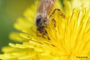 タンポポとミツバチ2