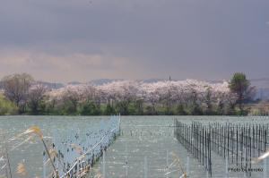 平湖と桜並木