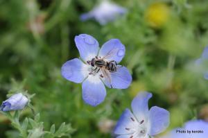 ネモフィラとハチ
