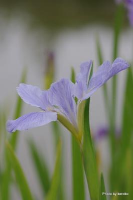 花しょうぶ薄紫