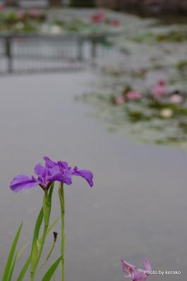 花しょうぶ2