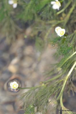 醒ヶ井梅花藻2