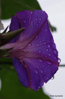 雨の日のアサガオ1