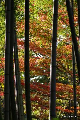 竹林の中の紅葉