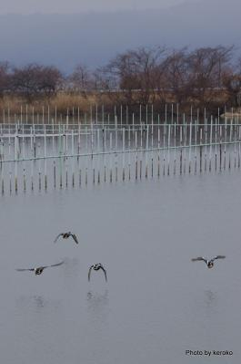 平湖のカモ達