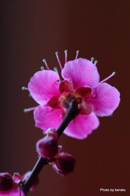 旧竹林院盆梅展1