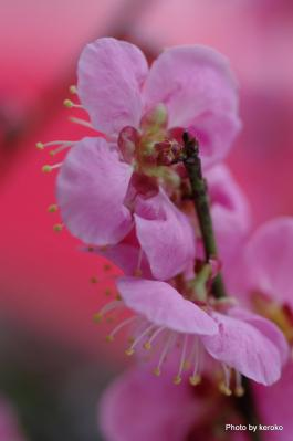 旧竹林院盆梅展3