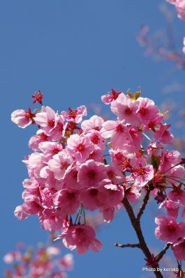 彦根城の桜2