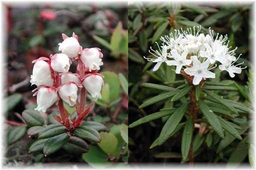 樽前山の花