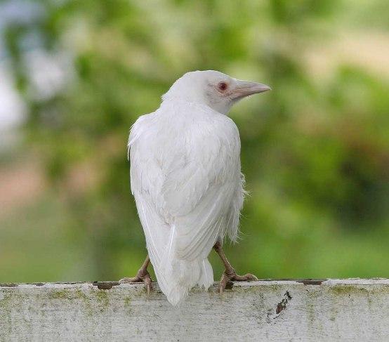 whitecrow2.jpg