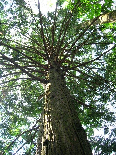 枝の張った檜の立木