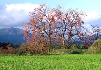 柿と八方ヶ岳
