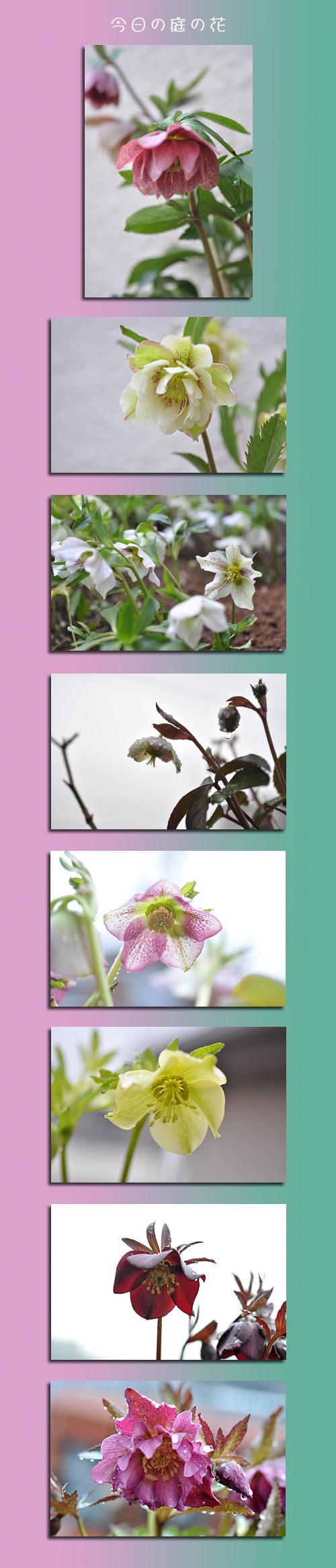 2月27日庭の花1