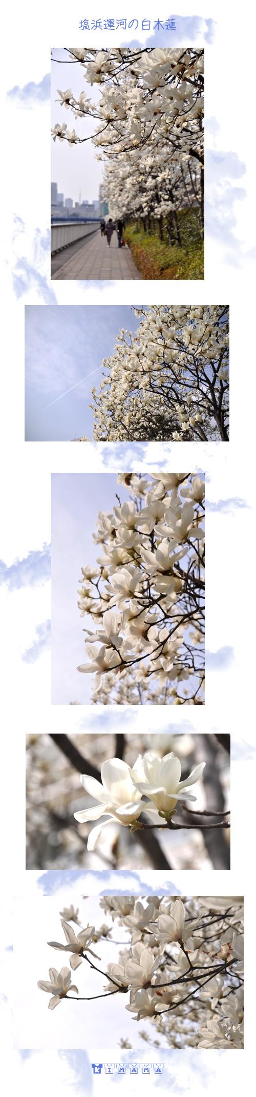 3月15日白木蓮
