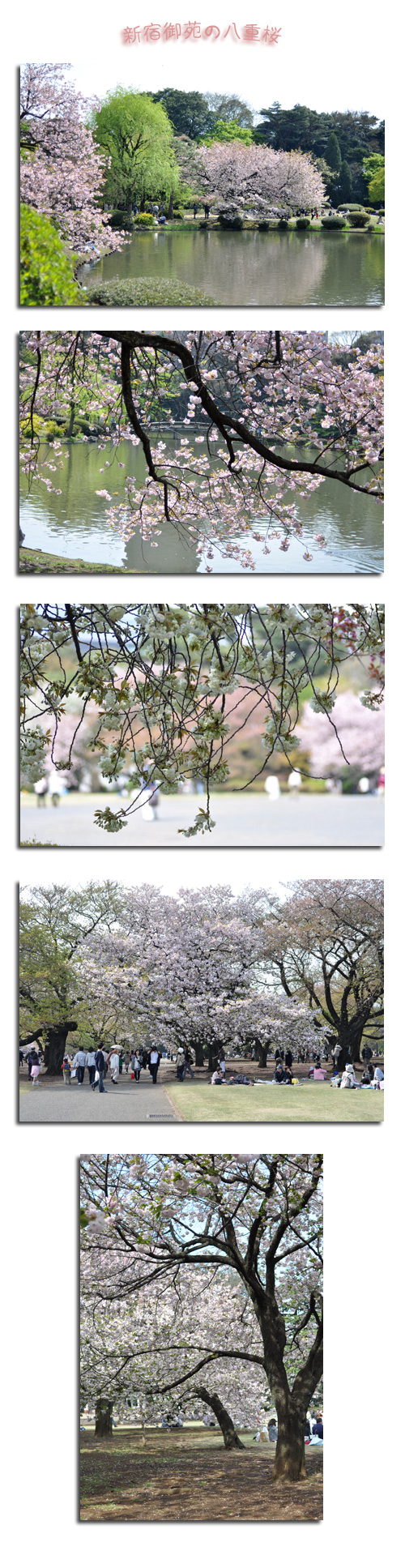 4月20日八重桜1