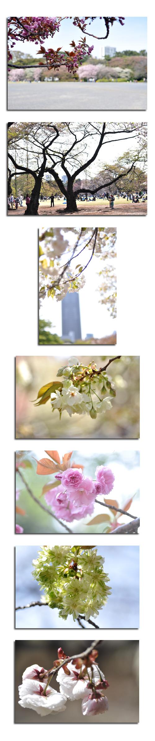 4月20日八重桜2