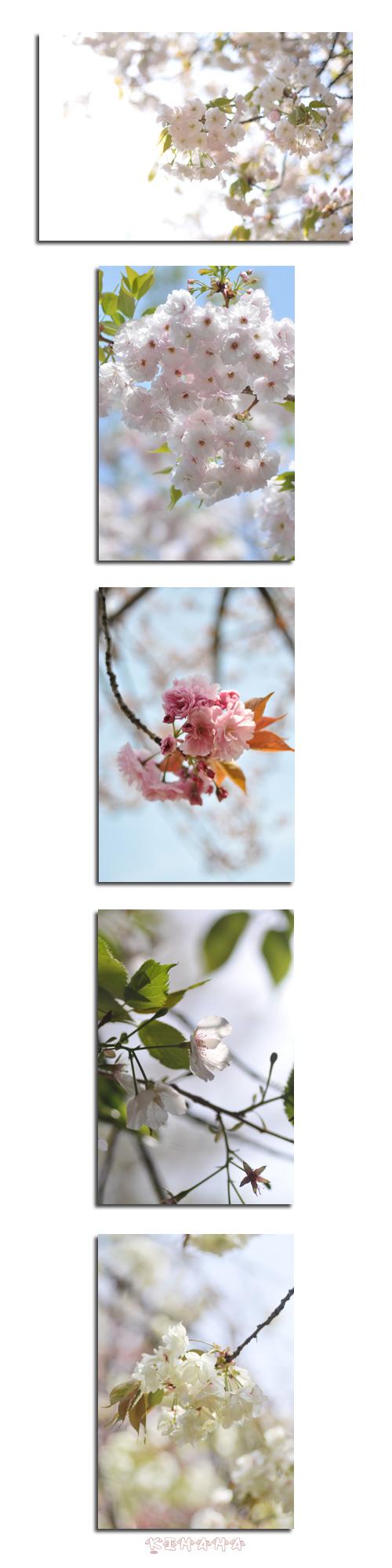4月20日八重桜3