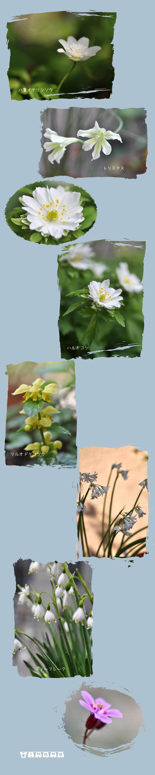 5月5日山野草2