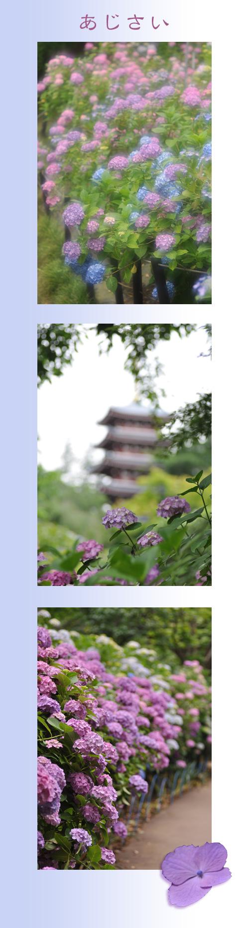 6月22日紫陽花1
