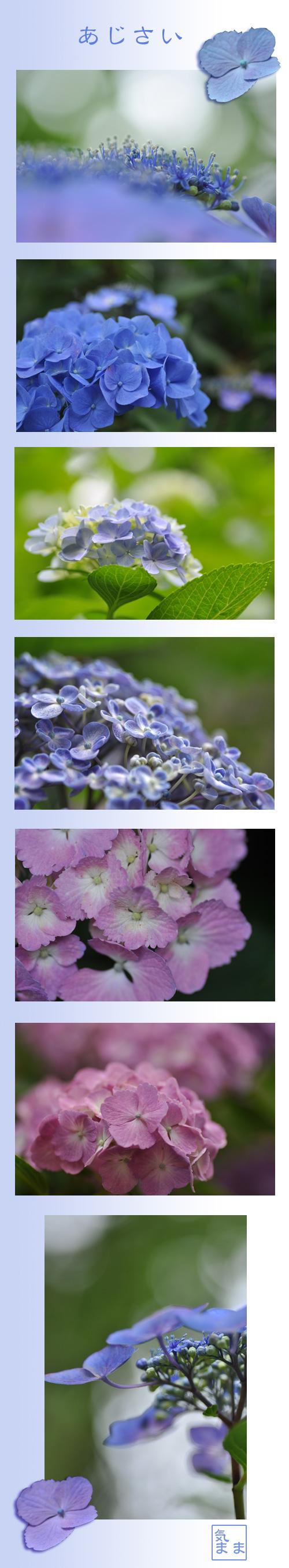6月22日紫陽花2