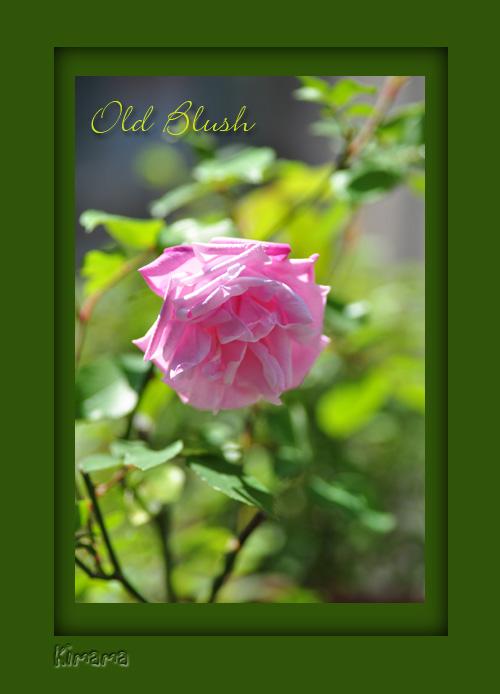 4月25日一番のバラ