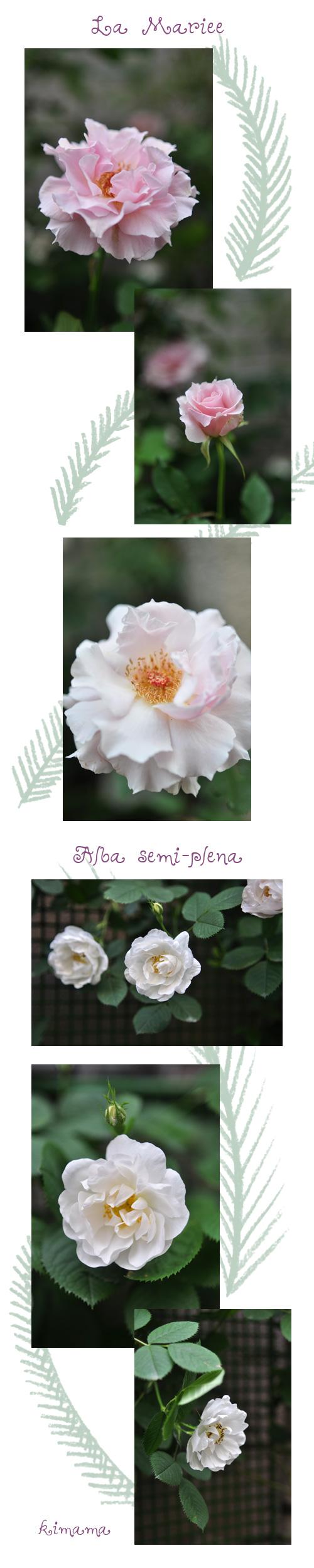 5月18日お気に入りの薔薇