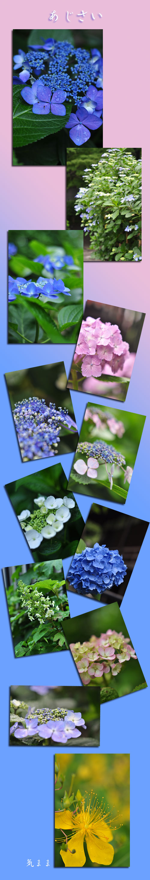 6月13日紫陽花