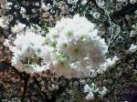 造幣局の桜の通り抜け写真
