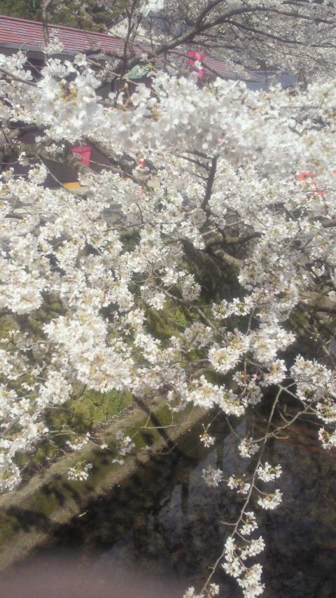 城崎の桜~★