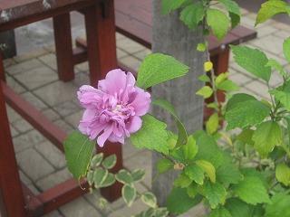 hanaokujyo0809