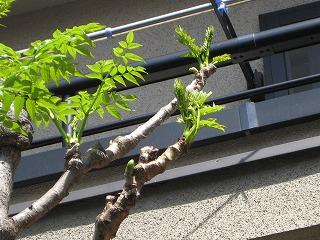 """長崎3丁目の""""たら""""の木。たらの芽が青々と"""