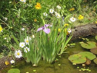 屋上庭園の菖蒲、今年も綺麗に咲きました。