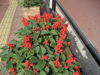 公会堂前のお花