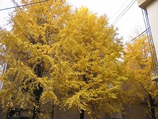 銀杏が綺麗です-豊島公会堂裏、黄色一色