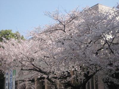 豊島公会堂と桜