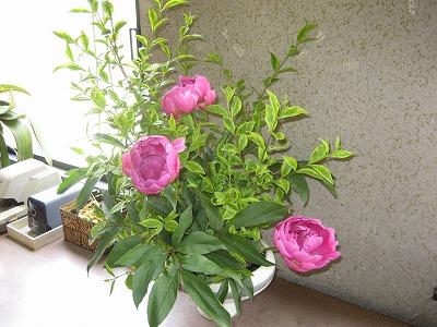 廊下のお花-しゃくやく