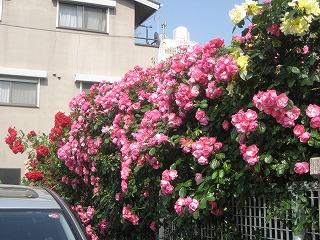 田端のバラ