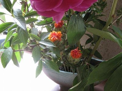 黄色い花はベニ花です