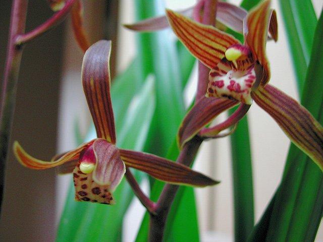 ホウサイランの花 1
