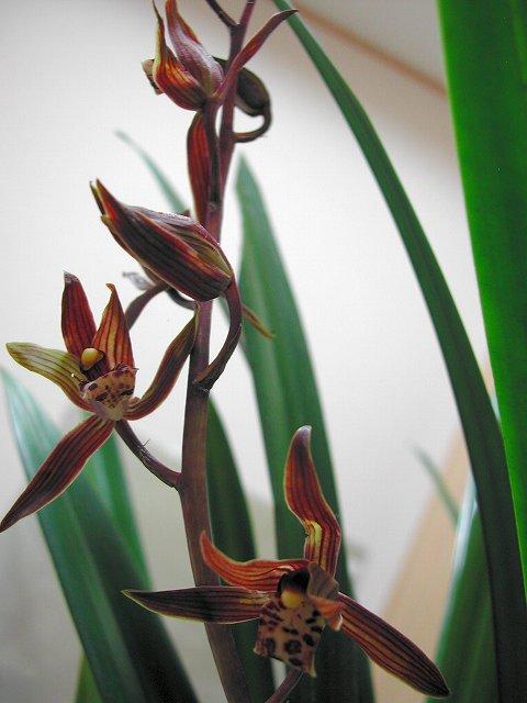 ホウサイランの花 2