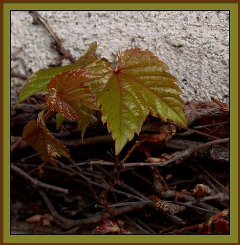 ivy2.jpg