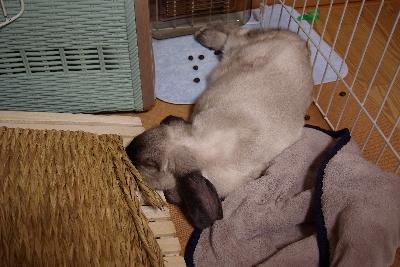 寝るウサギ