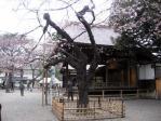 靖国神社の基準木