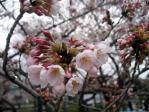 千鳥が淵の桜