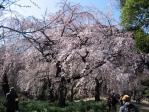 新宿御苑の桜(枝垂れ桜)