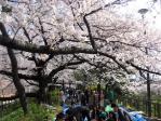 四谷並木の花見客