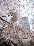 常盤橋公園の桜