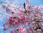 井の頭公園の枝垂れ桜