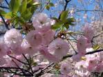 新宿御苑の桜(一葉)